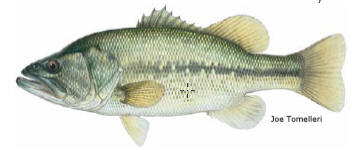 Largemouth Bass - A preferred Central Texas fish